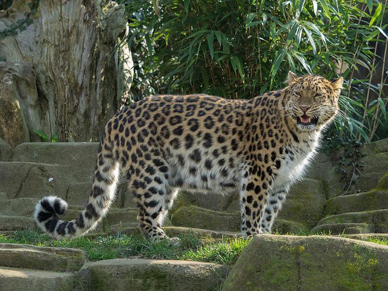 Panthera_pardus_orientalis_Colchester_Zoo_(1)