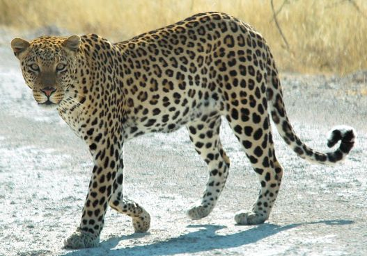 leopards are cool