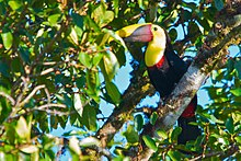 220px-Black-mandibled_Toucan_2012