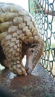 220px-A_Rescued_Indian_Pangolin