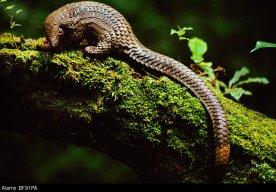 BF91PA Long-tailed pangolin, Manis tetradactyla, Democratic Republic of Congo