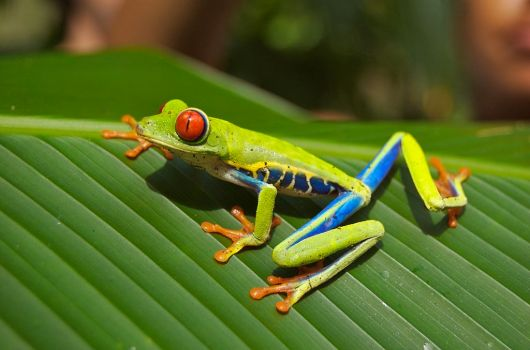 1024px-Red_eyed_tree_frog