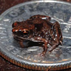 smallfrog